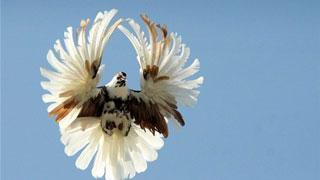 Птицевод лишился голубей редкой породы