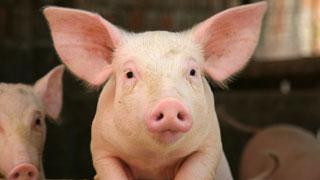 Компенсация за уничтоженных в Саратовской области свиней составила 26 млн рублей
